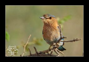 Indian Roller 2 by ahmedalali