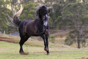 Carlos Andy Stallion Canter (My fave pic) by Chunga-Stock