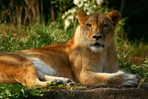 Lioness by timseydell
