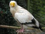Bird 286 - Egyptian vulture by Momotte2stocks
