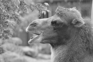 Bactrian camel by Tapire