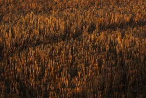 Chopped Corn by PenguinPhotography