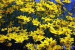 Yellow Pasion by deadrose333
