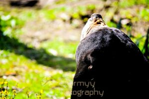 Sun bathing sun bear! by StormyyWolf
