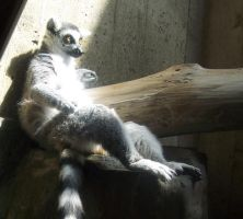 Ringtailed Lemur4 stock by shi-stock