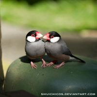 Java Sparrow 01 by shuichimeryl