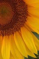sunflower by hypertech