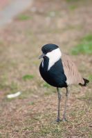 Spur-winged Lapwing (Vanellus spinosus) by rat-or-rat