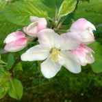 Apple Blossom by Azucar95