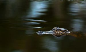 Orton Plantation: Alligator 2 by LAlight