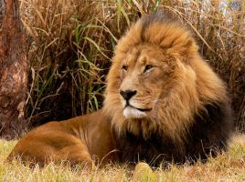 Lion in South Africa by Stoic-lamp-post