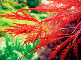 Japanese Maple by Reira86