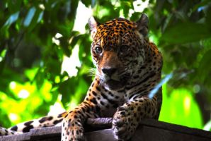 Alert Jaguar by RegulaDestroya