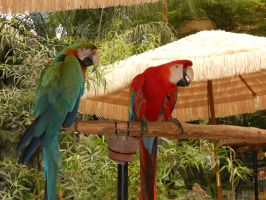 Macaws at the State Faire by dragondoodle