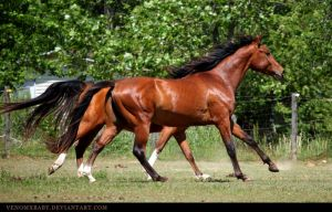 red bay akhal-teke stallion 1 by venomxbaby