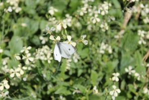 Cabbage Moth by shelldevil
