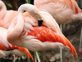 Chilean flamingo (Phoenicopterus chilensis) by xAkuReix