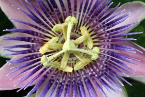 Passion Flower 3 by CASPER1830
