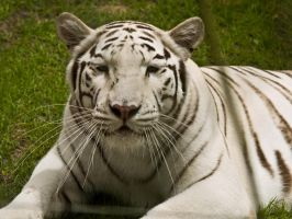 white tiger by tibbet2000