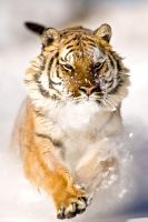 Siberian Tiger 3 by catman-suha