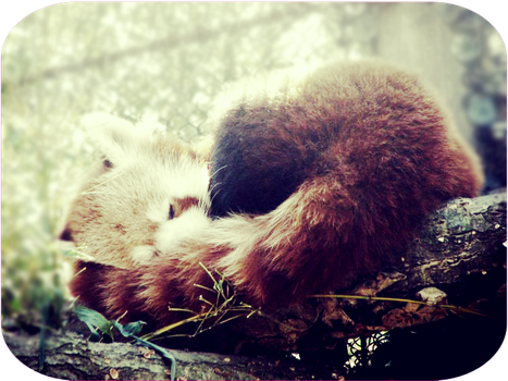 Sleeping Red Panda by loveletternotes