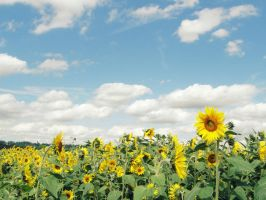 A Sea of Sunflowers by Freckles4815162342