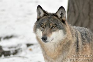 Winter wolf 2011 02 by cinnabarr