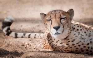 Cheetah 2 by DeniseSoden