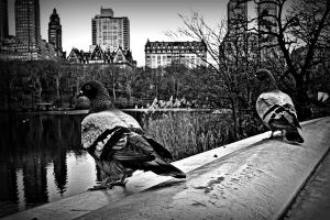 Central Park Pigeons by kaleidoscopeeyes06