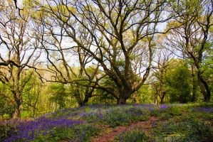 Bluebell Woods by parallel-pam