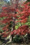 Japanese Maple (red) by greyloch-md