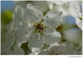 Pear Blossoms II by butterfly36rs