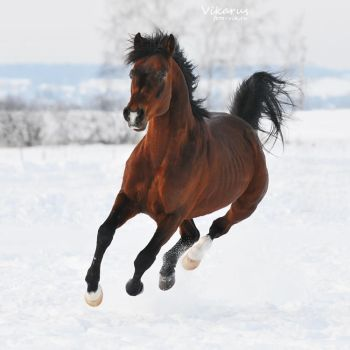 bay horse, winter 2011 by Vikarus