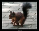 Squirrel by ronald87