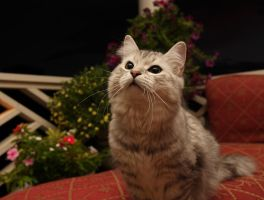 Siberian Cat Sasha no. 2 by Mischi3vo
