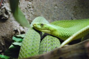 East African Green Mamba 05 by ManitouWolf