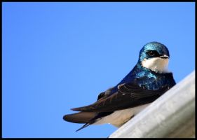 Tree Swallow Stare by raistlin306