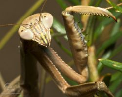 Praying Mantis Close up by JohnSlaughter