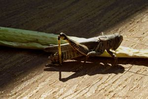 grasshopper and celery-Serial3 macro- by sonafoitova