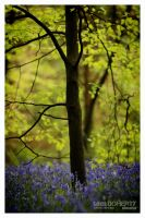 Late evening Bluebells by PicTd