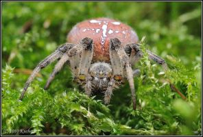 Araneus quadratus III by Dark-Raptor