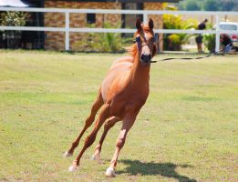 GE Arab filly chestnut canter front on by Chunga-Stock