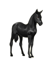 Howrse Fresian Foal TRANSPARENT BG by EnchantedEquine