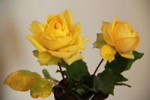 March yellow roses by yasminstock
