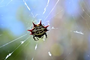 Spiny Orb Weaver by ferret46