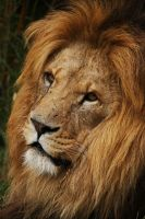 Lion 2 by rosswillett