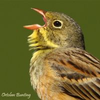 GOOD MORNING WORLD - Ortolan Bunting by Jamie-MacArthur