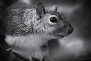 Squirrel Noir by clippercarrillo