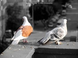 Pigeon Pair by erolberkay298