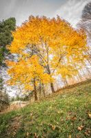 Yellow Trees by bentolosa